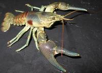 Image of: Orconectes rusticus (rusty crayfish)