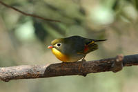 Image of: Leiothrix lutea (red-billed mesia)