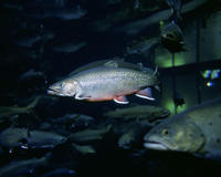 Image of: Salvelinus fontinalis (brook trout)