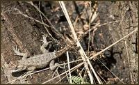 Image of: Sceloporus olivaceus (Texas spiny lizard)