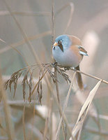 Bearded Reedling (Panurus biarmicus) photo