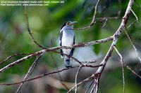 Silver-breasted Broadbill - Serilophus lunatus