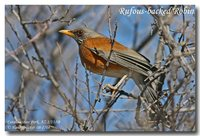 Rufous-backed Robin - Turdus rufopalliatus