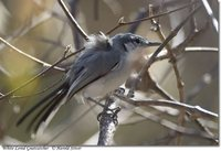 White-lored Gnatcatcher - Polioptila albiloris