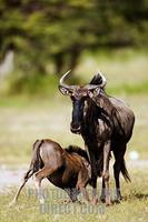 ...Blue wildebeest young suckling (connochaetes taurinus) . Etosha National Park . Namibia stock ph