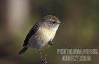 Reunion stonechat , Saxicola ( torquata ) tectes , Reunion stock photo