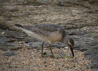 Red Knot Calidris canutus 붉은가슴도요