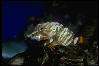 : Rhamphocottus richardsoni; Giant Sculpin