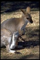 : Macropus rufogriseus; Red-necked Wallaby