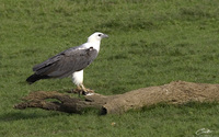 Haliaeetus leucogaster  White-bellied Sea Eagle