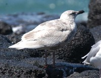수리갈매기(Glaucous-winged Gull)