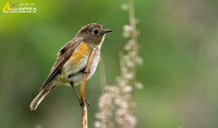 Fig. 12. Red-flanked Bluetail : 유리딱새