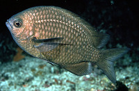 Chromis albomaculata, White-spotted chromis: