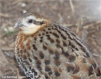 mountain bamboo partridge, Bambusicola fytchii