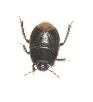 Image of: Cydnidae (burrower bugs)