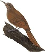 Image of: Deconychura longicauda (long-tailed woodcreeper)