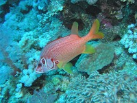 Sargocentron spiniferum - Giant Squirrelfish