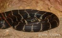 Lampropeltis getula californiae - California King Snake
