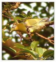 Yellow-footed Green Pigeon - Treron phoenicopterus