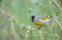 Lawrence's Goldfinch (Carduelis lawrencei) photo