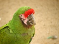 Great Green Macaw - Ara ambigua