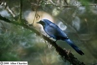 Black-collared Jay - Cyanolyca armillata