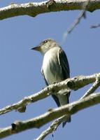 Olive-sided Flycatcher at SJRNWR 5/21/05 © 2005 Jim Gain