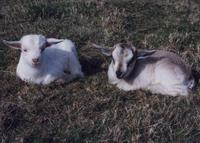 Cashmere Goat does