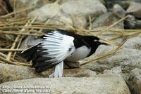 Fig. 14. Japanese Wagtail : 검은등할미새