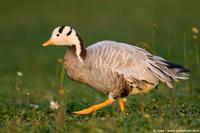 004035 - Anser indicus (Bar Headed Goose)