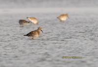 Great knot C20D 03050.jpg