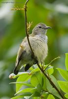 Plain-Flowerpecker