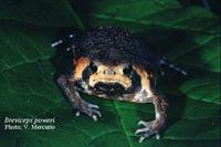 : Breviceps poweri; Power's Rain Frog