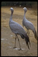 : Anthropoides paradisea; Blue Crane