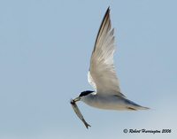 : Sternula antillarum; Least Tern
