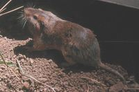 : Thomomys bottae; Valley Pocket Gopher