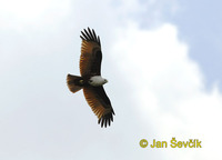 Photo of luňák bráhmanský Haliastur indus Brahminy Kite