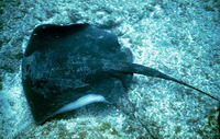 Dasyatis pastinaca, Common stingray: fisheries, gamefish, aquarium