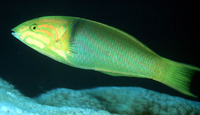 Thalassoma lutescens, Yellow-brown wrasse: fisheries, aquarium