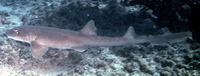 Chiloscyllium arabicum, Arabian carpetshark: fisheries
