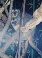Image of: Aotus trivirgatus (northern night monkey)