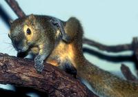 Callosciurus notatus - Plantain Squirrel