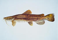 Image of: Pylodictis olivaris (flathead catfish)