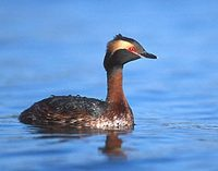 Horned Grebe (Podiceps auritus) photo
