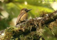Smoky-brown Woodpecker - Veniliornis fumigatus