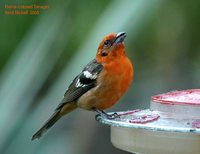 Flame-colored Tanager - Piranga bidentata