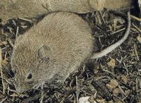 LONG-TAILED VOLES (Microtus longicaudus)