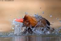 005017 - Netta rufina (Red-crested  Pochard)