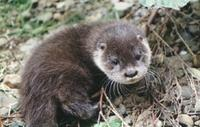 Hairy nosed Otter - Lutra sumatrana