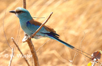 : Coracias abyssinica; Abyssinian Roller